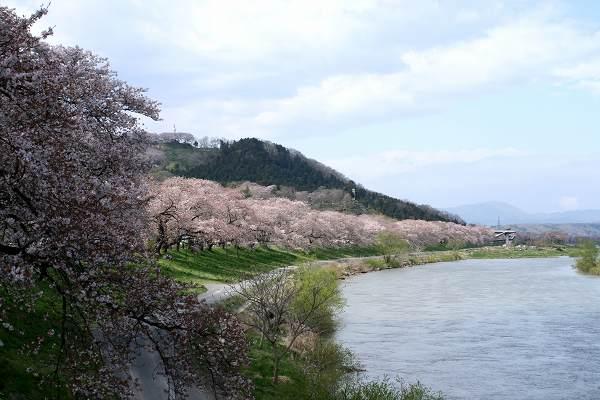 0424千本桜.jpg