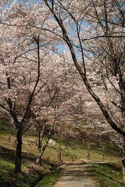 0425お城山桜3.jpg