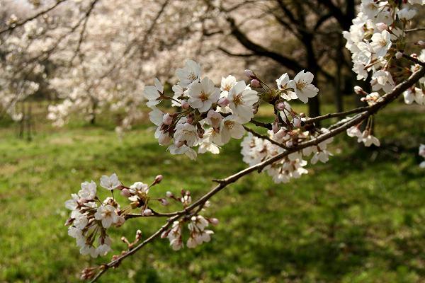 0425お城山桜6.jpg