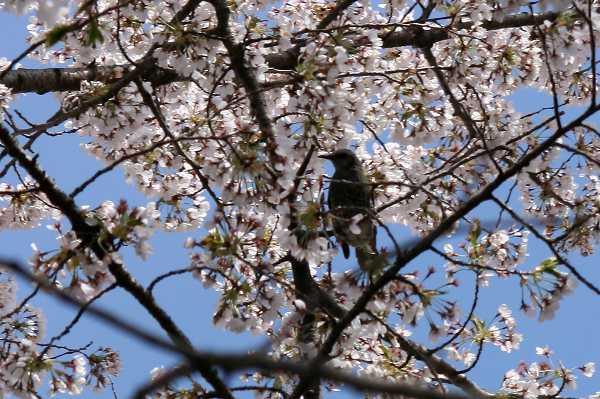 0426桜2.jpg