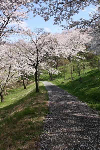 0426桜3.jpg