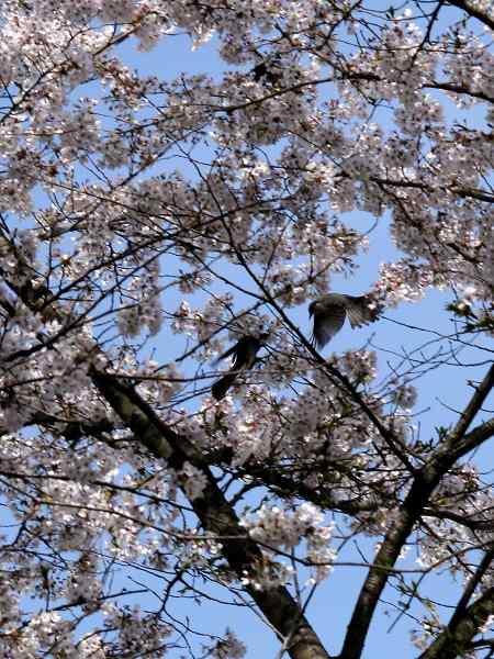0426桜4.jpg