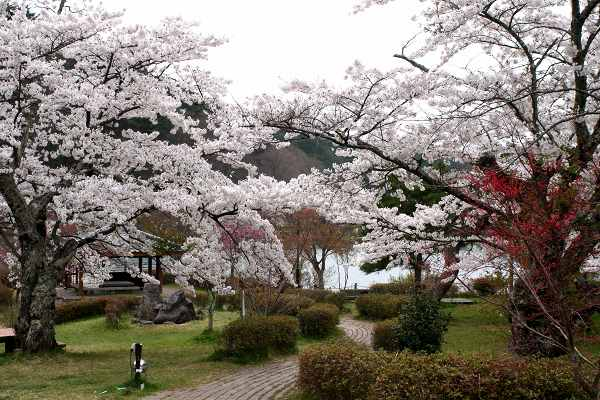 0428桜3.jpg