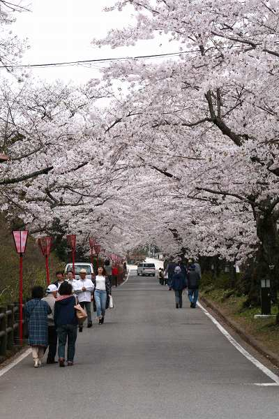 0428桜5.jpg
