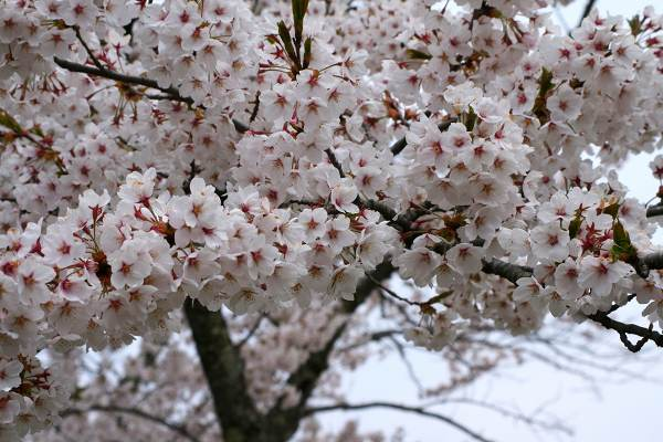 0428桜6.jpg