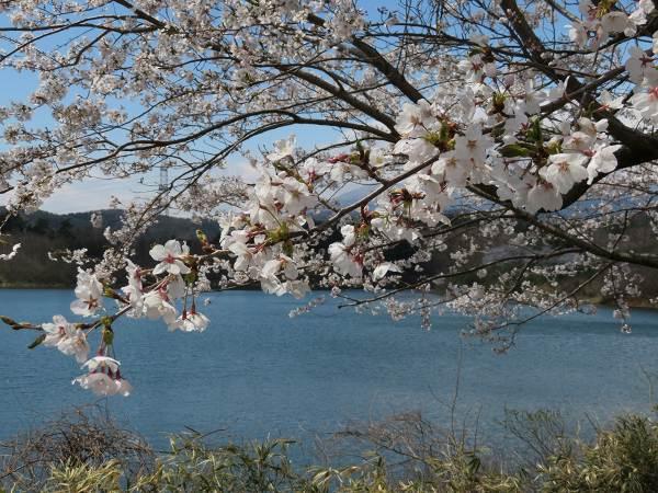 0414桜1.jpg