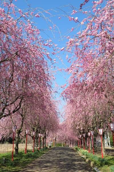 0420桜1.jpg