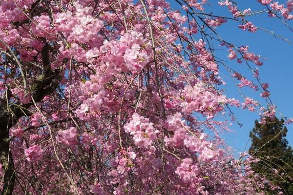 0420桜2.jpg