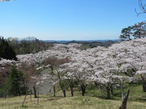 0420桜3.jpg