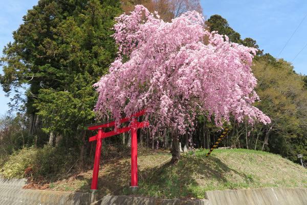 0420桜8.jpg
