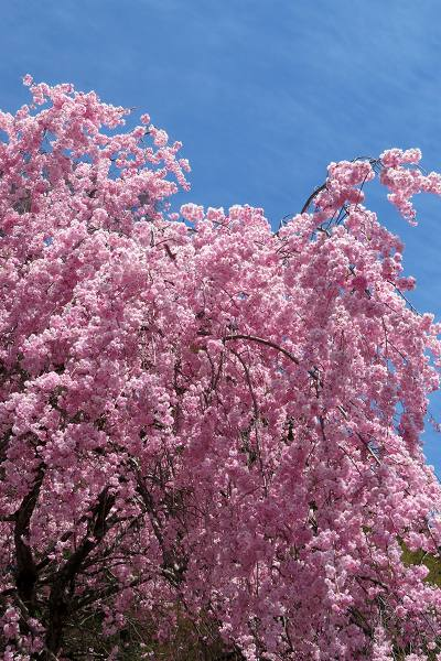 0420桜9.jpg