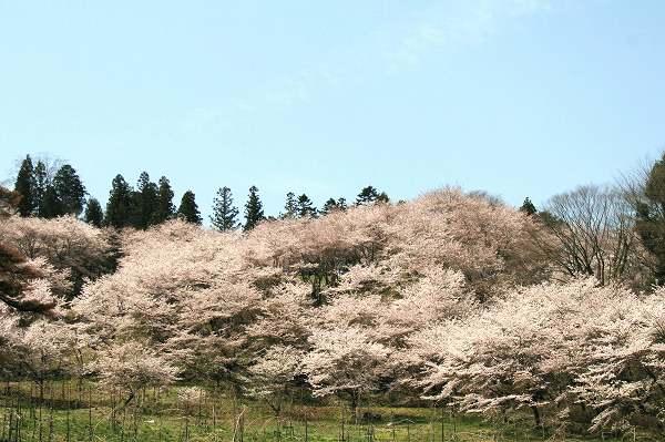 0425お城山桜2.jpg