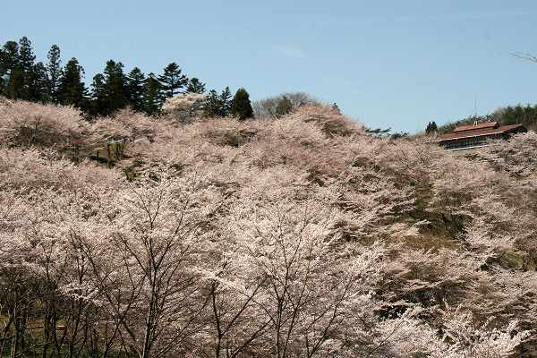 0425お城山桜5.jpg